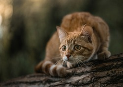 Cute ginger cat sitting on a tree branch. Smart cat carefully looks at the world. The cat is preparing to jump by flexing its back. Red cat in a forest on a tree.  The animal listens carefully.