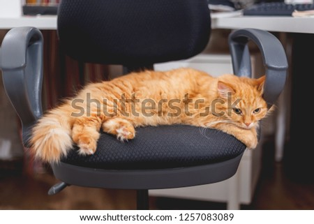 Cute ginger cat sleeping on computer chair. Fluffy pet dozing near her master's work place.