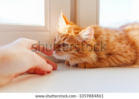 Cute ginger cat smelling human hand. Cozy morning at home. Trustful fluffy pet. #1059884861