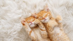 Cute Ginger Kittens Sleeping on a fur White Blanket. Concept of Happy Adorable Cat Pets.
