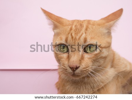 Cute Ginger tabby cat on Pink background.