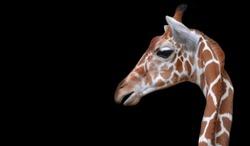 Cute Giraffe Face Looking Back