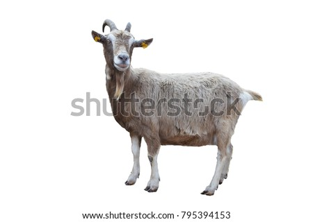 Cute goat isolated on white background including clippping path
