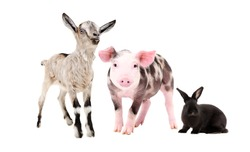 Cute goat, rabbit and pig  together isolated on a white background