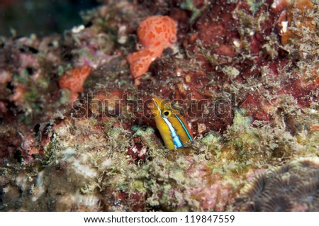 Cute Goby fish hide in coral reef.