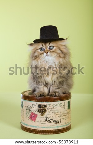 Cute Golden Chinchilla Persian kitten wearing top hat on mini hat box on green background
