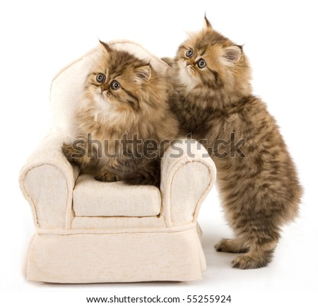 Cute Golden Chinchilla Persian kittens on mini chair on white background