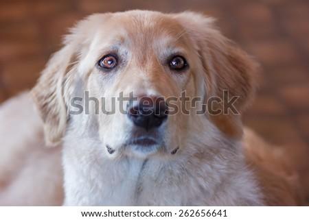 Cute golden hovawart portrait #262656641