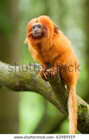 cute golden lion tamarin (Leontopithecus rosalia)