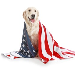 Cute golden retriever dog with USA flag on white background. Memorial Day celebration