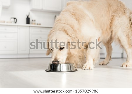 cute golden retriever eating dog food from metal bowl in kitchen