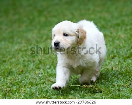 golden retriever puppy running. Golden Retriever GR puppy