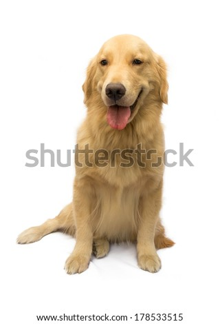Cute Golden Retriever In A Happy Mood Isolated In White Background