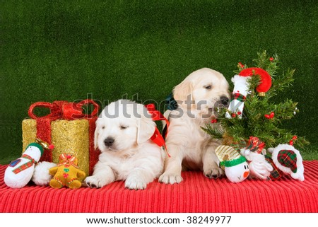 cute golden retriever puppy pics. stock photo : Cute Golden