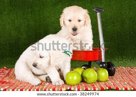 cute golden retriever puppies pictures. stock photo : Cute Golden