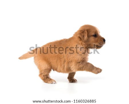 Cute Golden Retriever Puppy isolate on white background. #1160326885