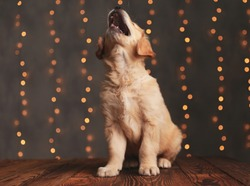 cute golden retriever puppy looking up and barking, sitting on background lights
