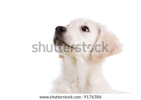 cute golden retriever puppy wallpapers. stock photo : Cute Golden