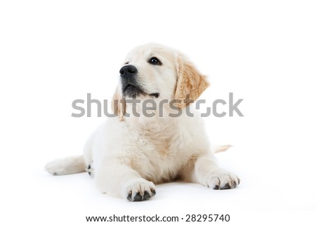 Cute golden retriever puppy lying isolated on white