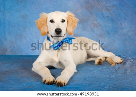 cute golden retriever puppy wallpapers. hot Cute Golden Retriever