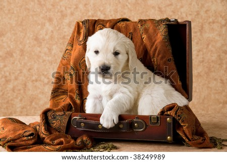 cute golden retriever puppy pictures. stock photo : Cute Golden