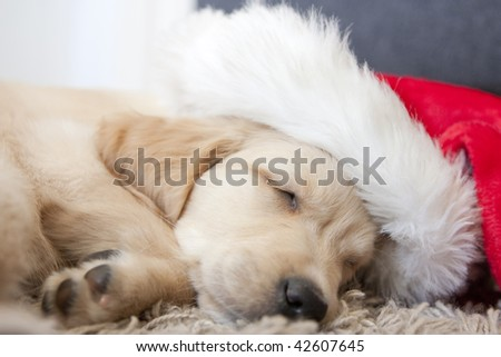 golden retriever puppy cute. hot golden retriever puppies