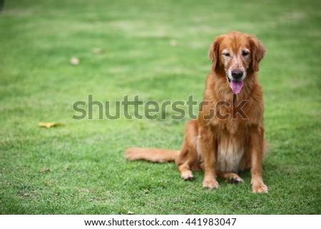 Cute Golden Retriever sitting in the garden #441983047