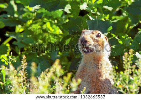 cute gopher climbed out of the hole on the lawn, fluffy cute gopher sitting on a green meadow on a sunny day, gopher screams in the meadow, closeup, toned