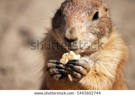 cute gopher eating cookies in the desert