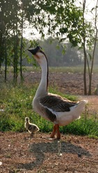 Cute gosling standing beside protecting goose mother.