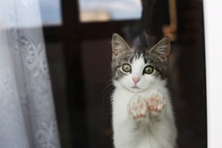 Cute gray and white cat leaning on glass and looking out window.
