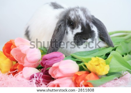 Cute gray and white floppy eared bunny on brightly colored tulips
