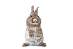 Cute gray, brown wild bunny stands on its hind legs against white background.