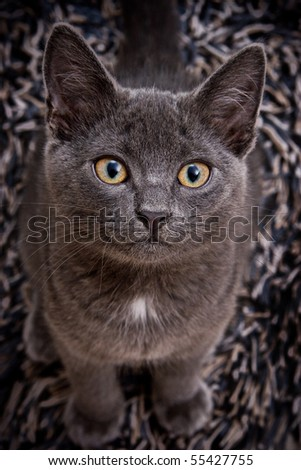 cute gray cat looking looking straight at the camera