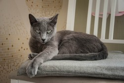 Cute gray cat on a chair. Grace. The breed of cat is Russian blue.