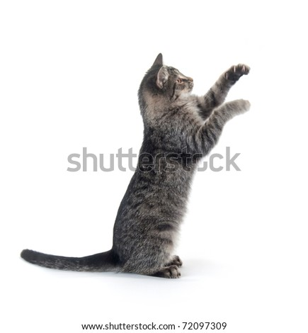 Cute gray cat on white background