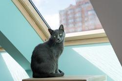 Cute gray cat sitting near the window. Portrait of elegant Russian Blue Cat.