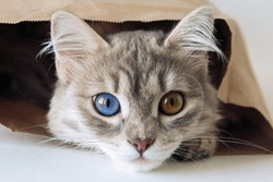Cute gray cat with colorful eyes sits in a paper bag and looks yellow-green eyes.