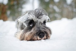 Cute gray dog miniature schnauzer in winter park or forest. Happy pepper with salt color  puppy in snow