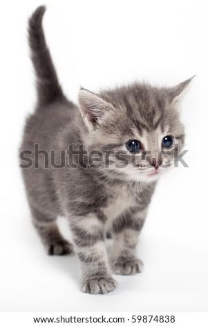 cute gray kitten in studio