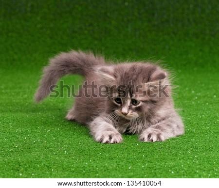 Cute gray kitten on artificial green grass
