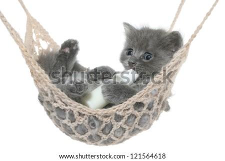 Cute gray kitten sucks milk bottle in a hammock on a white background.