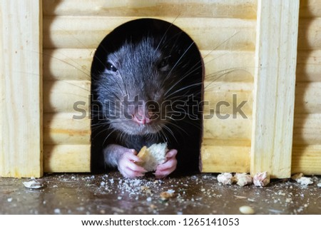 cute gray rat closeup hid in a wooden house eating a toast. Closeup portrait of rat hiding cracker in hand
