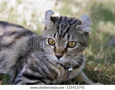 Cute gray tabby Highland Lynx kitten.