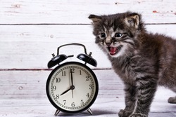 cute gray tabby kitten and alarm clock on a white wood background. good morning concept