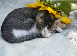 cute gray - white kitten sleeps on a light soft blanket under a yellow sunflower flower. Cozy life of pets, tenderness, dreams