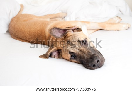 Cute Great Dane Puppy Sleeping In Owner'S Bed Stock Photo 97388975 ...