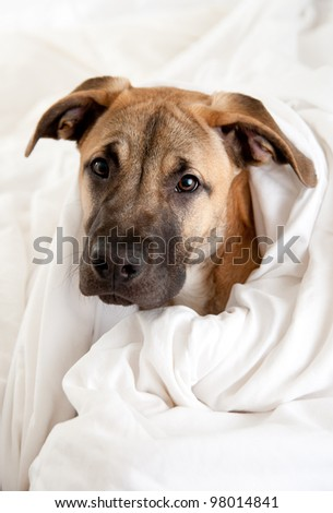 Cute Great Dane Puppy Sleeping In Owner'S Bed Stock Photo 98014841 ...