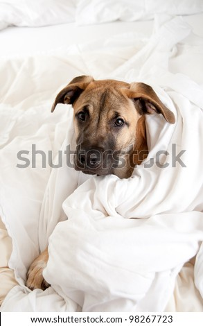 Cute Great Dane Puppy Sleeping In Owner'S Bed Stock Photo 98267723 ...
