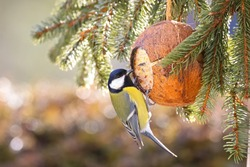Cute Great Tit bird eating bird feeder, coconut Shell suet treats made of fat, sunflower seeds during the Winter in Europe (Parus major)